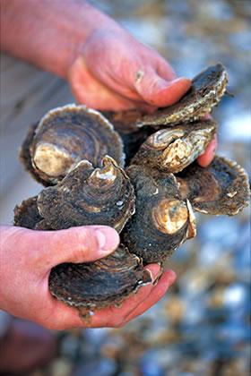 ウィチタブルの牡蠣