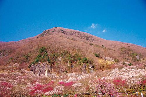 神奈川の低山「幕山」。2月上旬から3月中旬に約4千本の梅の絶景が見られる。梅に覆われた山道がよく、海の眺めも素晴らしい