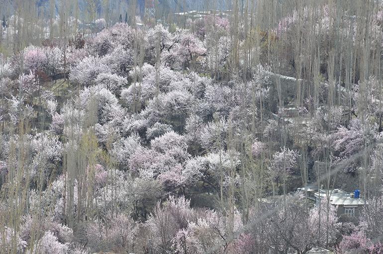 パキスタンのフンザは、不老長寿の桃源郷と言われている。満開のアンズの花とポプラ林
