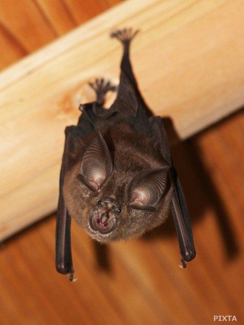 耳が大きく顔が特徴的なキクガシラコウモリ